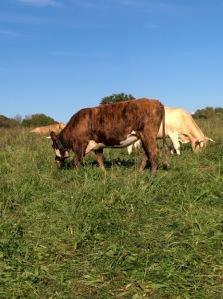 taureau et vache