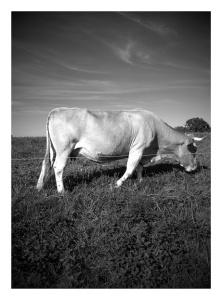 vache en noir et blanc