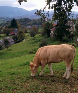 vache face aux montagnes