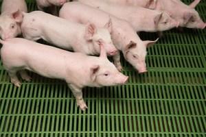 porc caillebotis