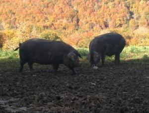 porc noir beauté