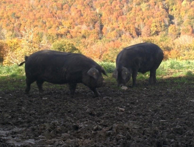 Le cochon est sur la paille dans les NesteBaronnies