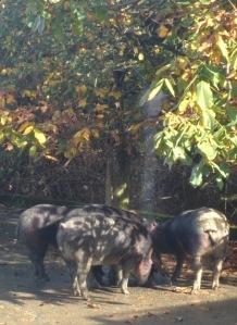 porc noir douche