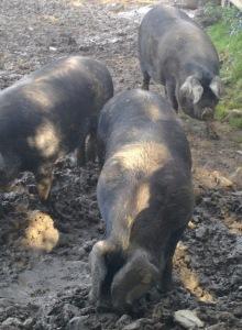 porc noir gros plan