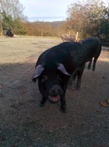 porc noir salue après douche