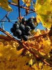 vigne dernière grappe 2