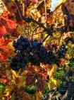 vigne dernière grappe