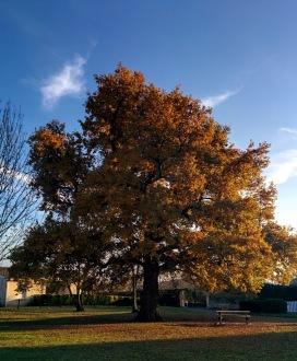 automne chene cezac