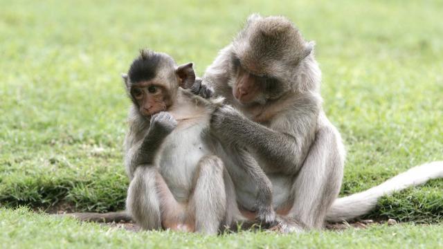 Création de singes transgéniques pour tenter de traiterl'autisme