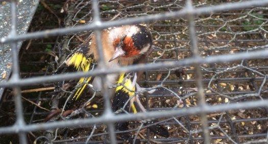 oiseau piège