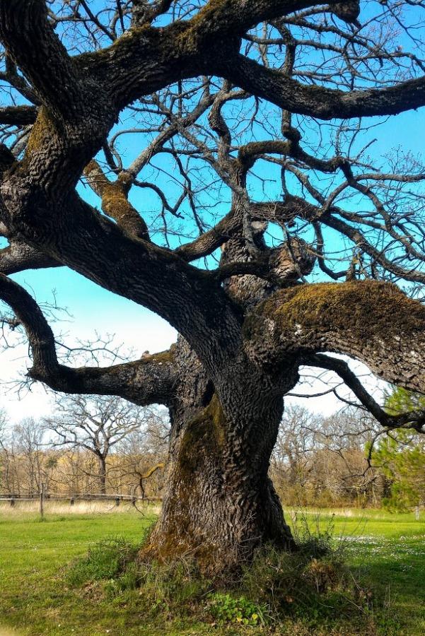Sa majesté le chêne maintes fois centenaire…