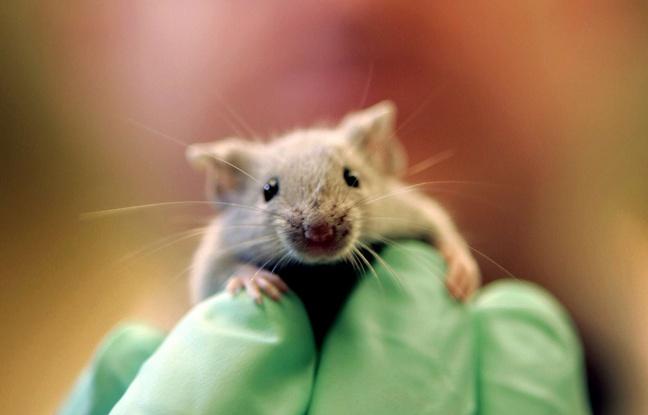 Sciences : Des souris bègues créées pour comprendre lebégaiement