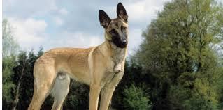 Insolite Santé : Cancer du sein: 100.000 euros levés pour un programme de chiensrenifleurs