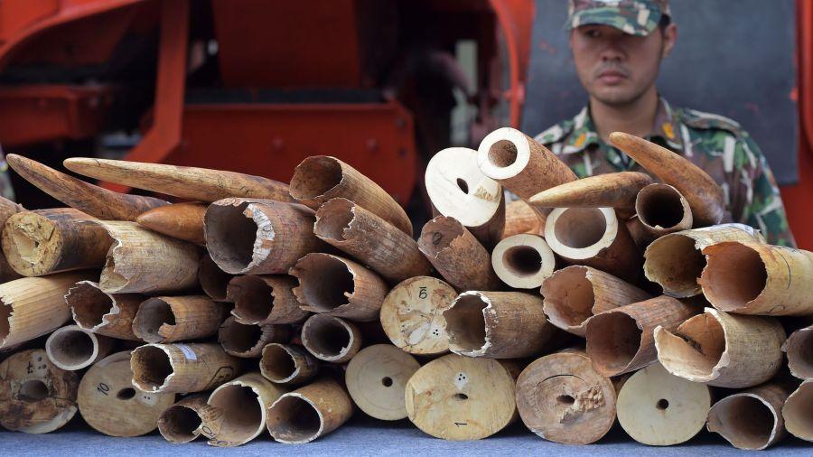 Nature : Singapour détruit 7,9 tonnes d'ivoire decontrebande