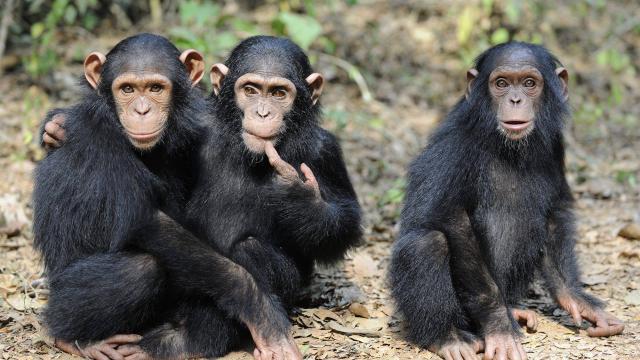 Insolite : Une étude prouve que les chimpanzés savent aussi travailler enéquipe