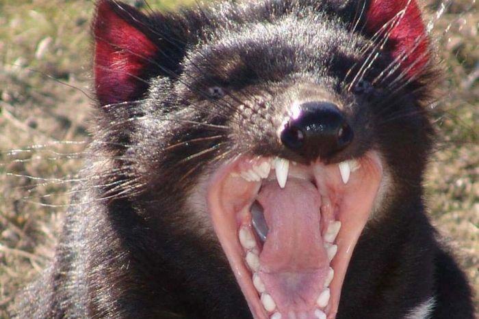Découverte santé : Le lait du diable de Tasmanie serait efficace contre les super-bactéries – Tasmanian devil milk could help fightcancer