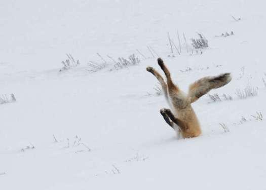 comedy wildlife renard.jpg