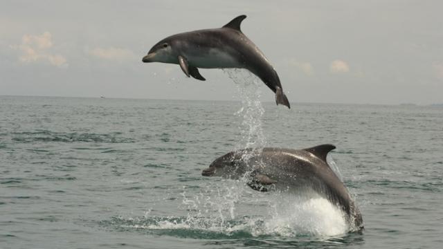 Nature : Vent de panique chez les dauphins bretons: la faute aux séismes?